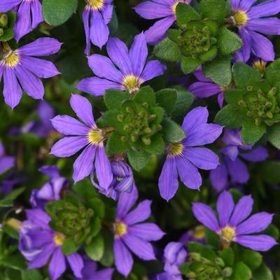 Scaevola Blue Hanging Basket